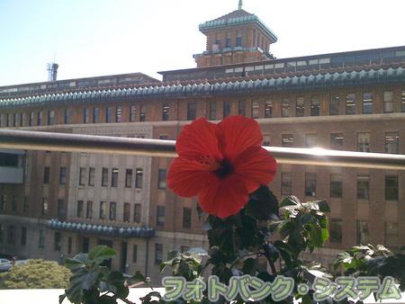 ハイビスカスがもう咲きました!