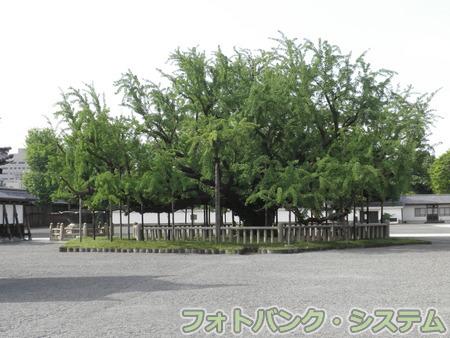 西本願寺:逆さ銀杏