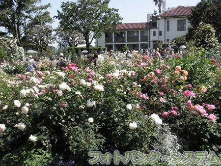 港の見える丘公園-咲き誇るバラ