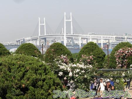 港の見える丘公園-バラ庭園とベイブリッジ